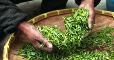 Afvallen met groene thee!